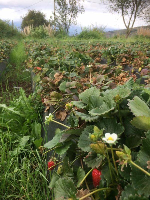 yana garantia agroecologica red de guardianes de semillas ecuador